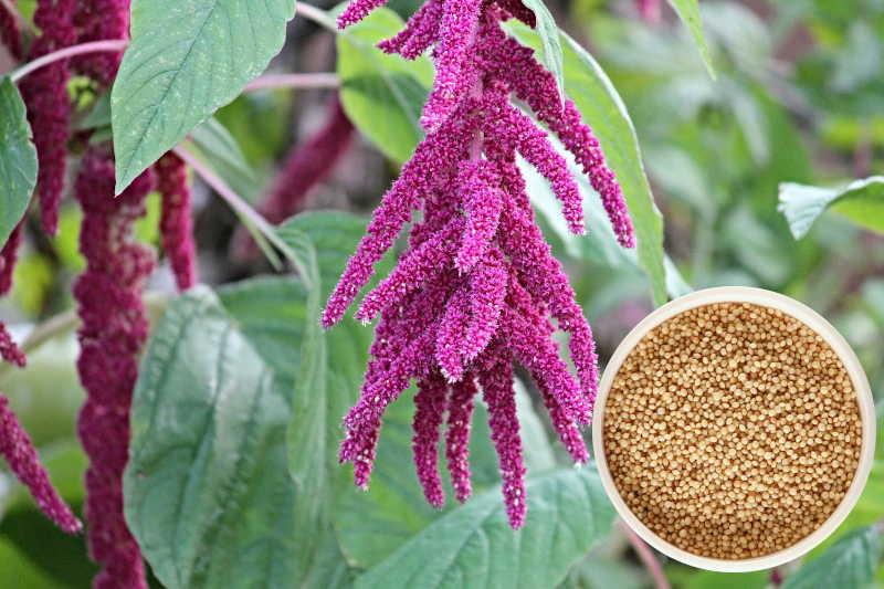 Planta del Amaranto y grano de el oro de los andes